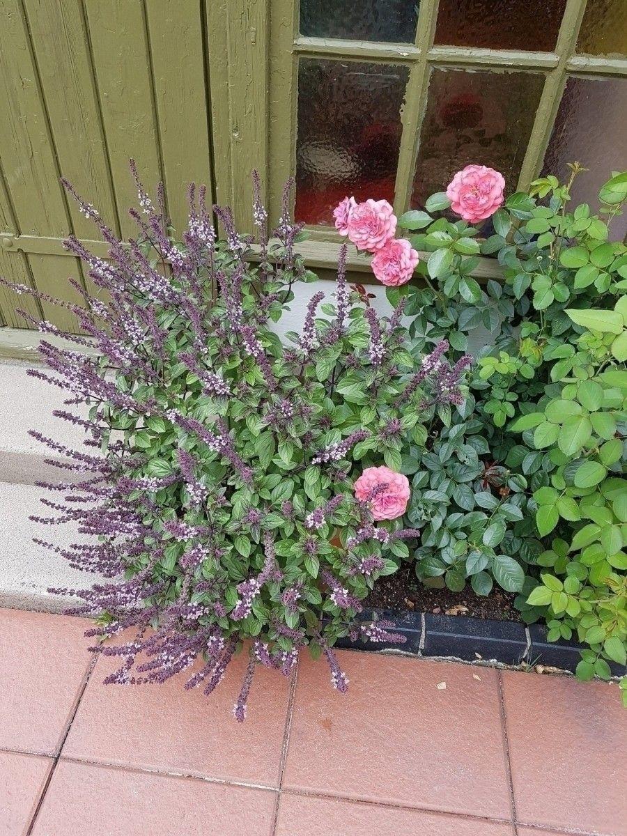 Strauchbasilikum Tolle Pflanze Fur Bienen Frag Mutti Pflanzen Garten Pflanzen Bienenfreundlicher Garten