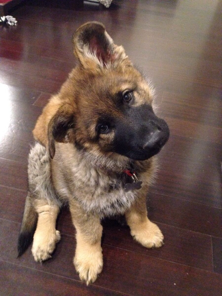 19 Adorably Important Puppy Head Tilts Cute Baby Animals