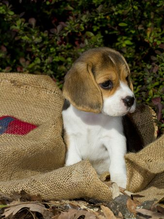 The Good Natured Beagle Is This The Bread For You Popular Dog