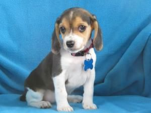 Adopt Smudge On Adoptable Beagle Beagle Dog Shelter Puppies