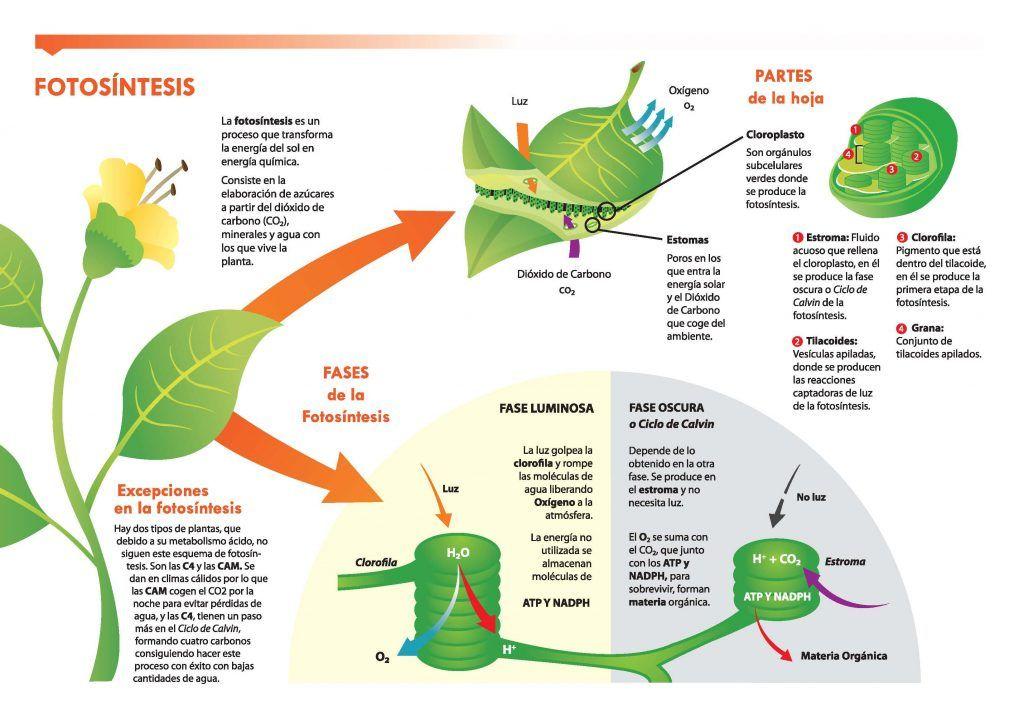 La Siguiente Información Fue Seleccionada Por Portalfruticola Com De Una Investigación De Jor Fotosintesis De Las Plantas Fotosintesis Pigmentos Fotosinteticos