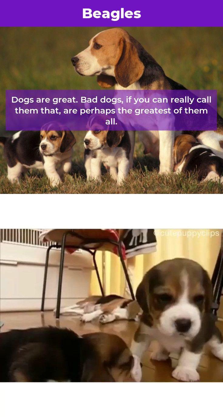 Beagle Dog Beaglegram Beagles Names Beagle Beagle Beagle