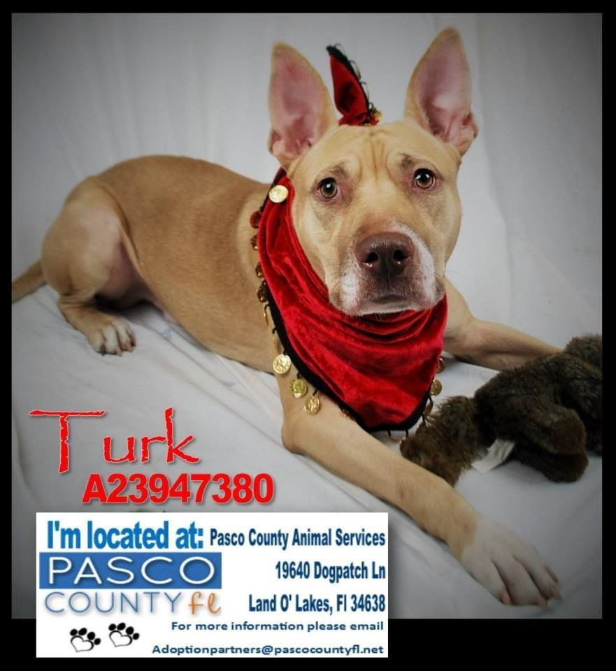 Turk Is One Of The Dogs Needing A Foster Adopter Rescue Asap At Pasco County Animal Services Land O Lakes Fl Land O Lakes Pasco County Pitbull Terrier