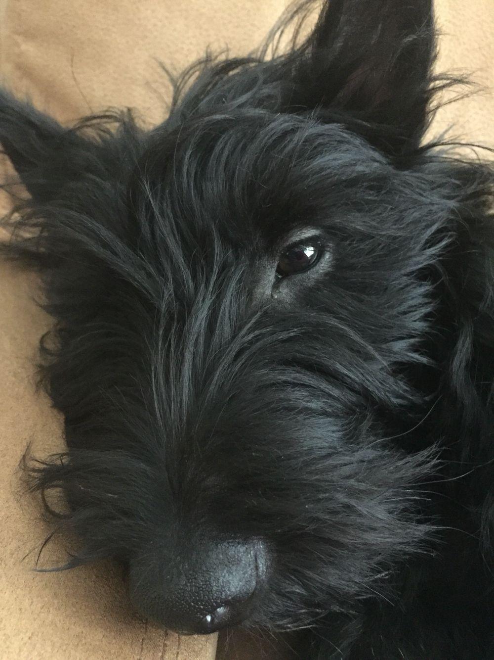 Matilda In 2020 Scottie Dog Scottish Terrier Scottie