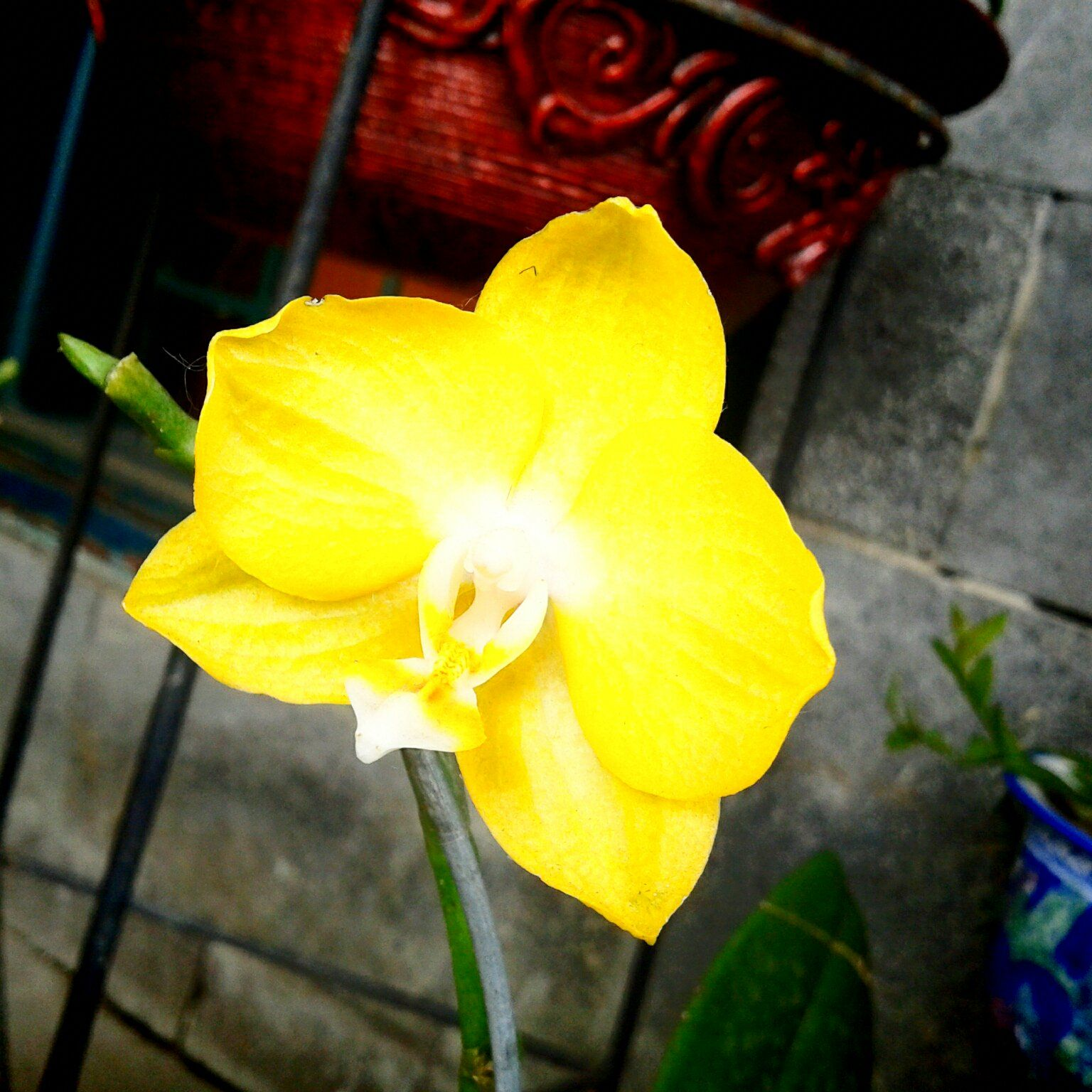 Yellow orchid, Bogor botanical garden, Indonesia Yellow