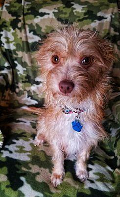 MCKINNEY, TX Westie, West Highland White Terrier. Meet