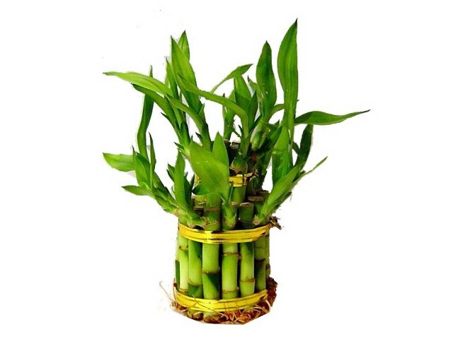 ornamental bamboo fence.htm 2 tier layer birthday cake lucky bamboo  large  lucky bamboo  2 tier layer birthday cake lucky bamboo