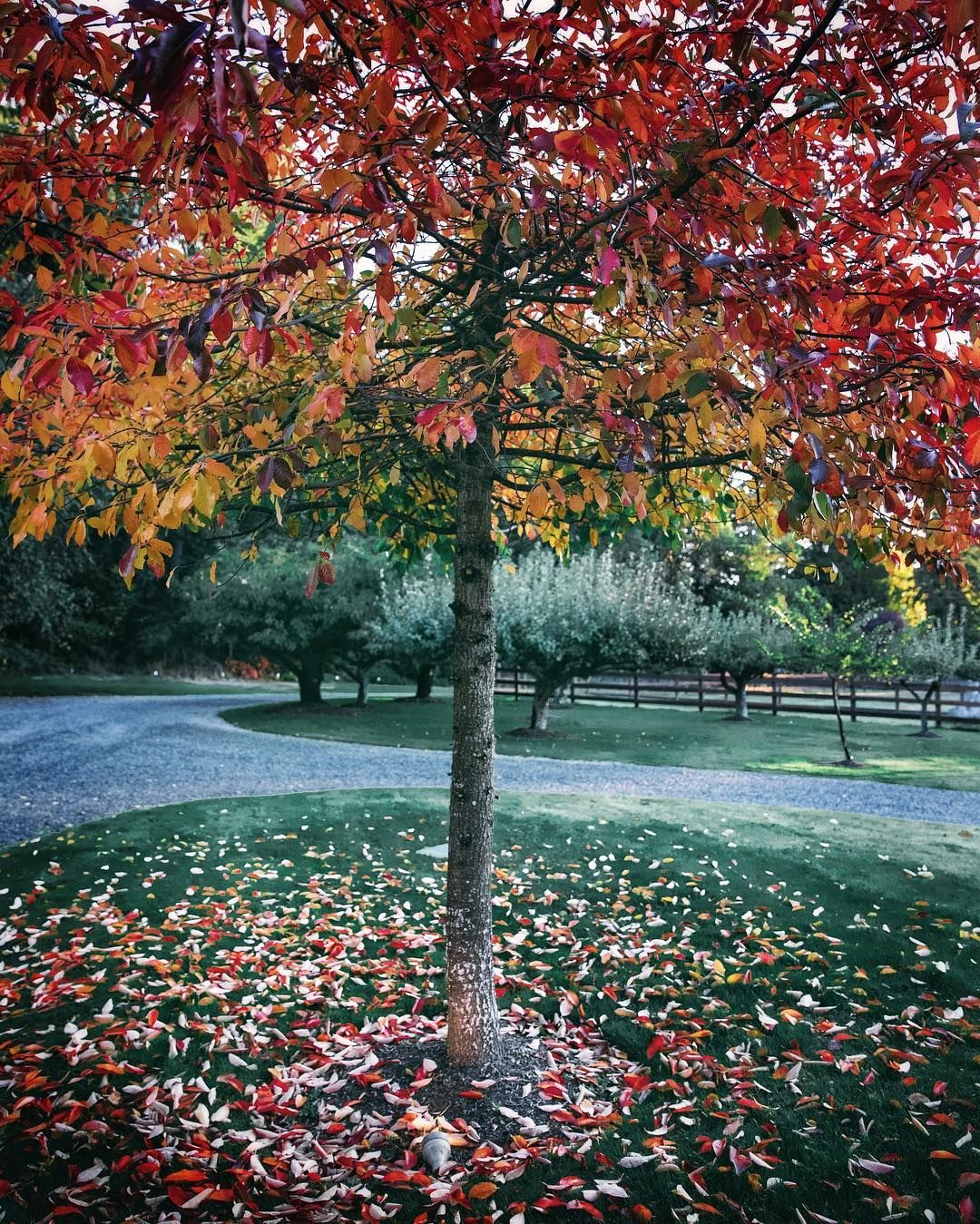 A beautiful fall tree at evergreen acres farm we are