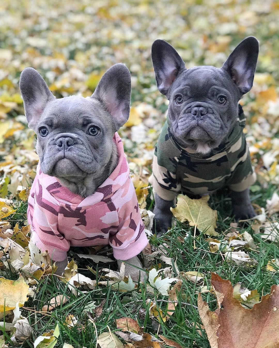 Frenchie World Camouflage Hoodie Blue French Bulldog Puppies
