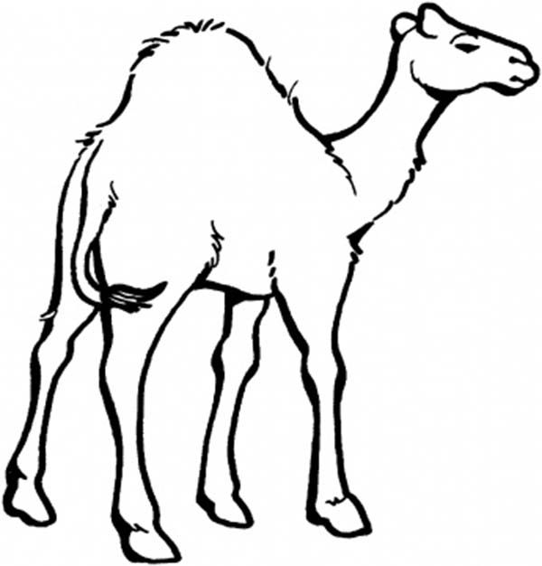 coloring pages camel - camel coloring page for kids midnight at the oasis