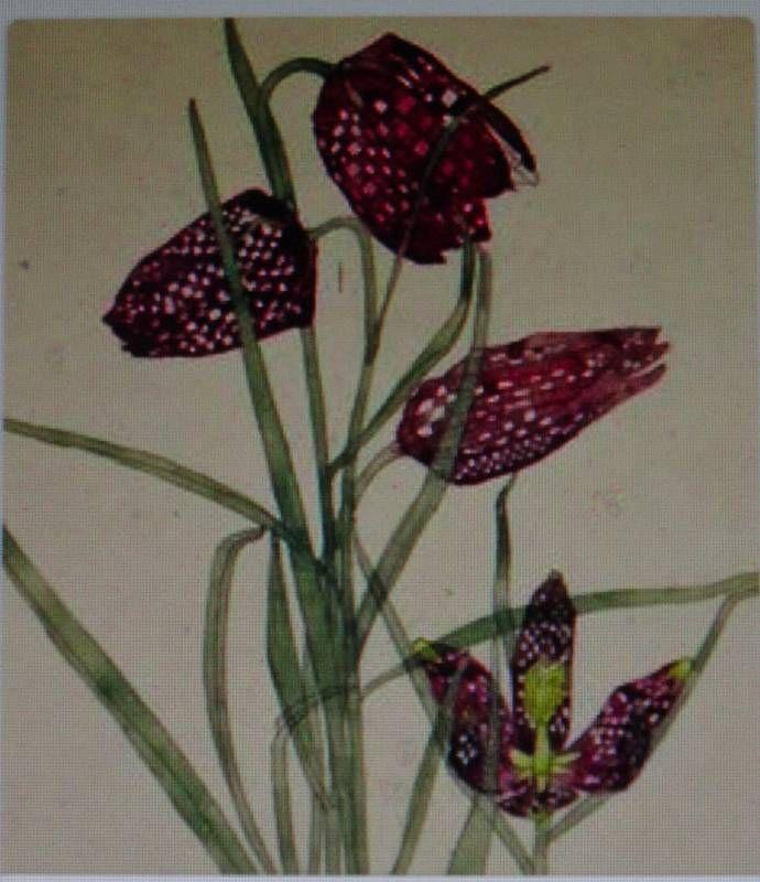 fritillaria mackintosh watercolour - Google Search