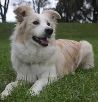 Australian Red Border Collie I Have Always Wanted A Blonde