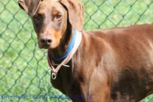 Tyra Is An Adoptable Doberman Pinscher Dog In Greenville Sc