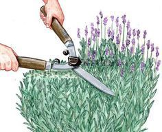 zinkwanne deko garten Standort, Pflege, Schnitt und ihn als Heilpflanze zum Trocknen ernten: So wchst Lavendel im eigenen Garten. Plus Deko- und Verwendungstipps.