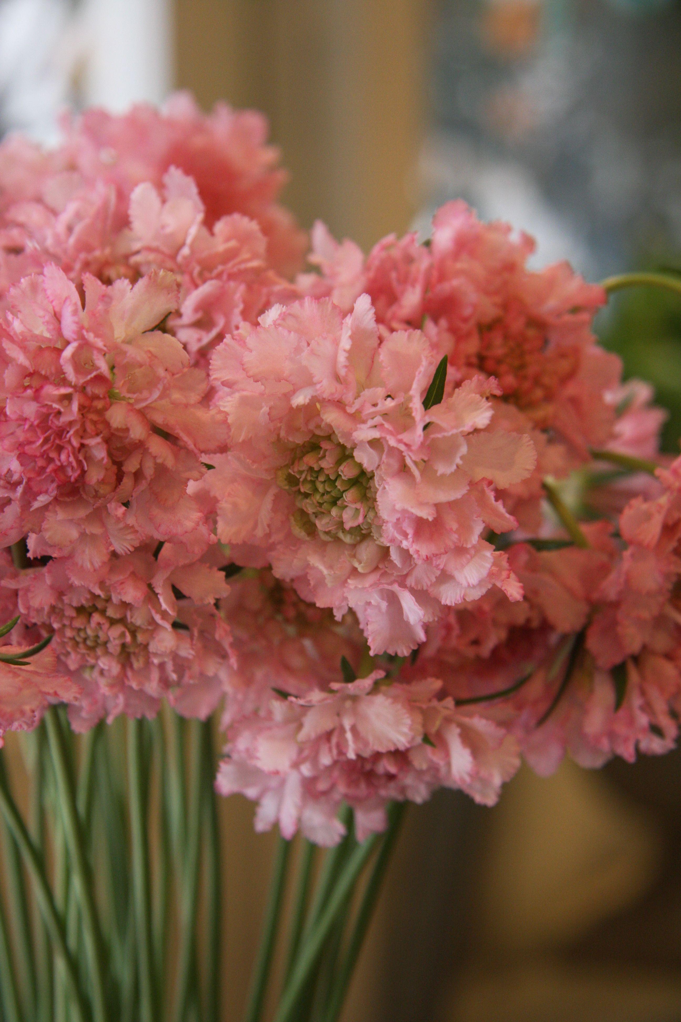 Scabiosa pretty and pink moonlight garden color scheme scabiosa pretty and pink mightylinksfo