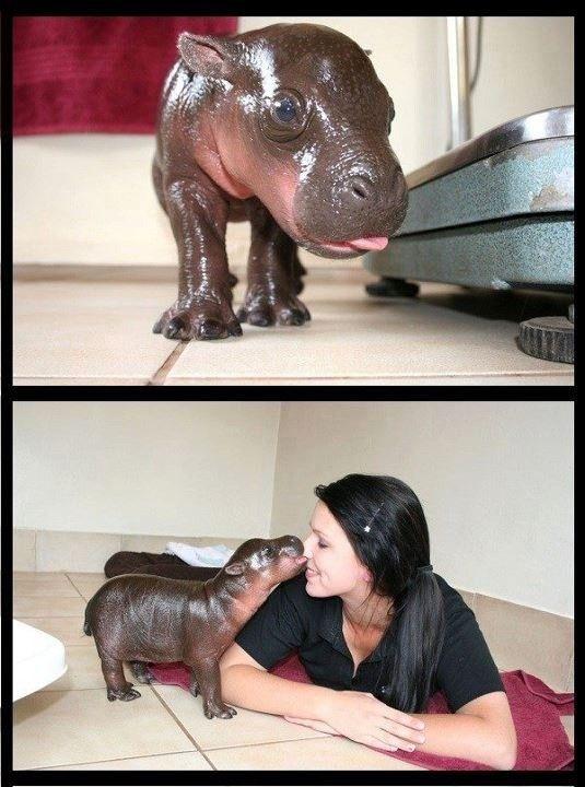 Pygmy Hippo! I Need One!