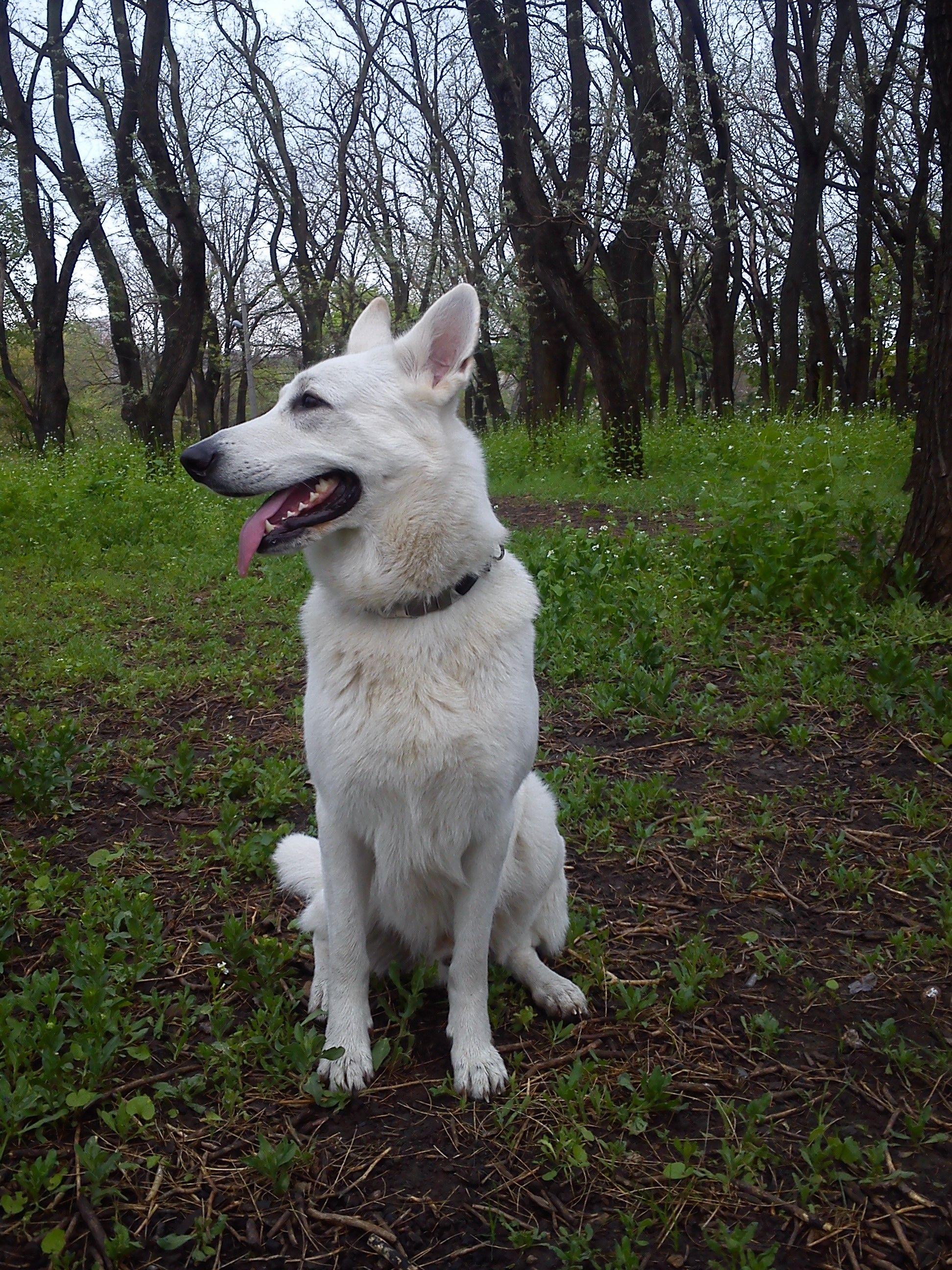 Pin by Elena Ivanova on White Shepherd Dog White german