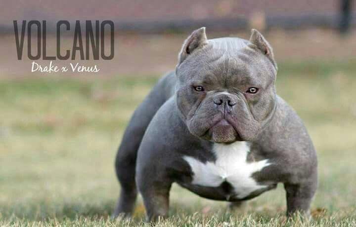Micro Bully Volcano Bully Dog American Bully Bully Breeds