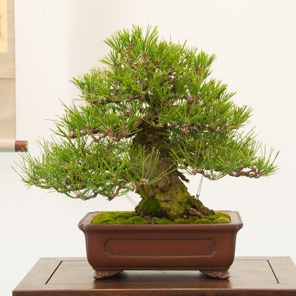 RK:Black pine