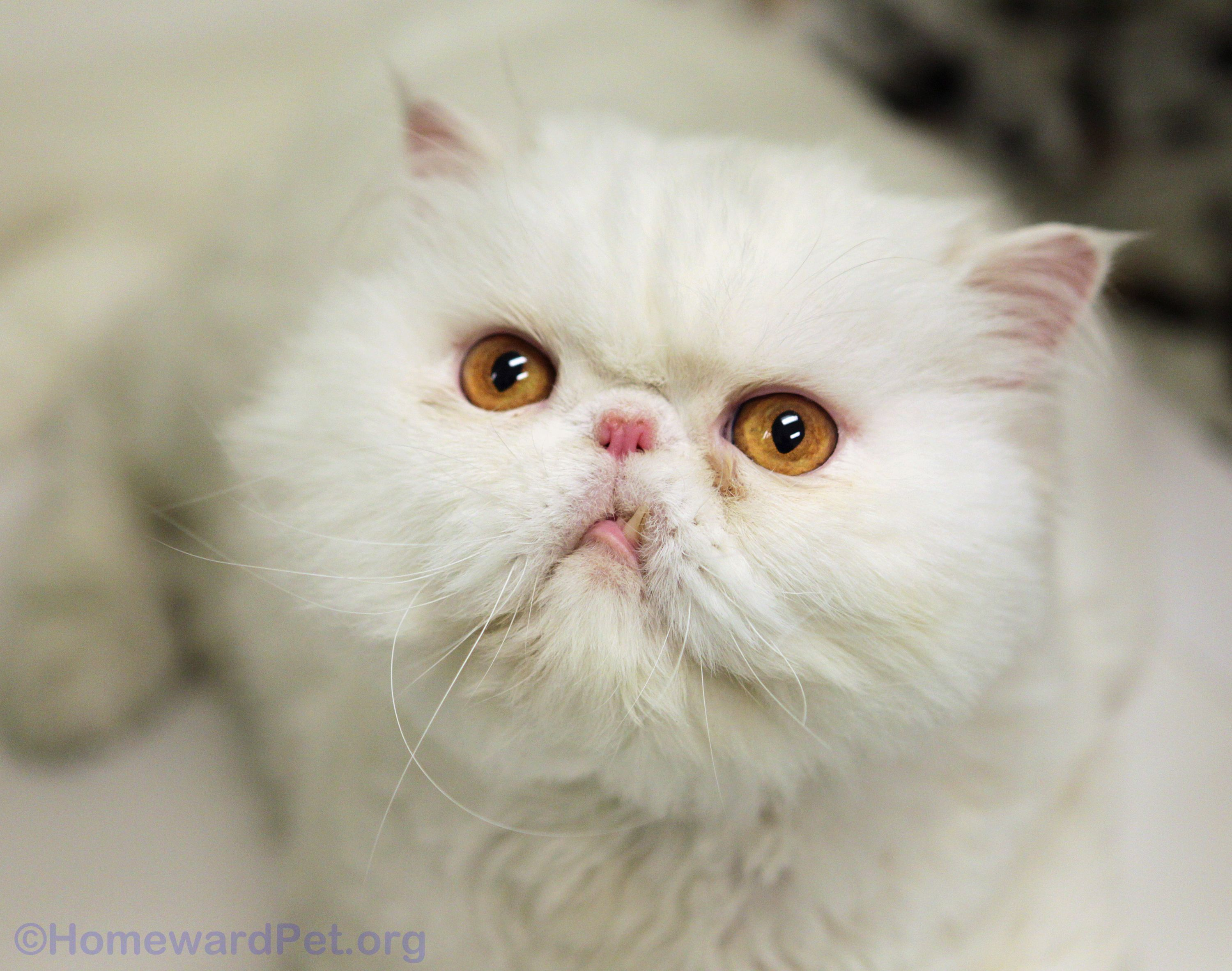 Meet handsome Jojo, a pure white Persian with an adorable