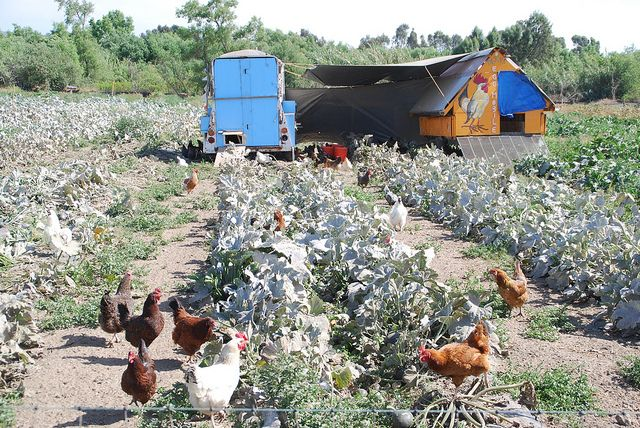 Under The Fda S Proposed Draft Rules For Fsma Letting Chickens Forage In Harvested Fields Would Become A Thing Of The Past Garden Plants Design Farm Farmer