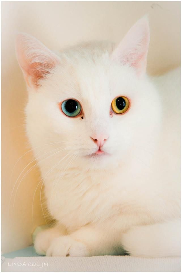 VAN KEDİSİ White cats, Cats, kittens, Spotted cat