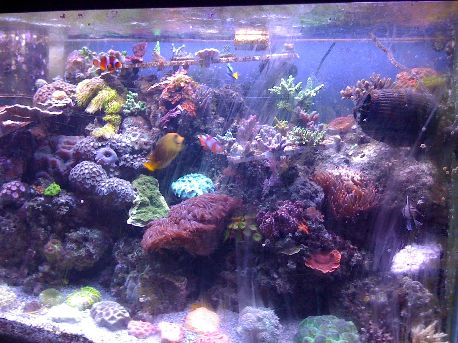 Live Coral in Reef Tank Corals I grow in my reef tank