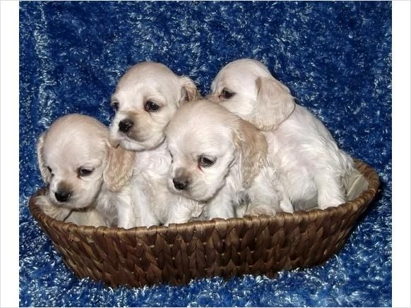Tiny Silver Buff American Cocker Spaniel Puppies! FULL PAPERS! - $600 - Edwardsville, Kansas