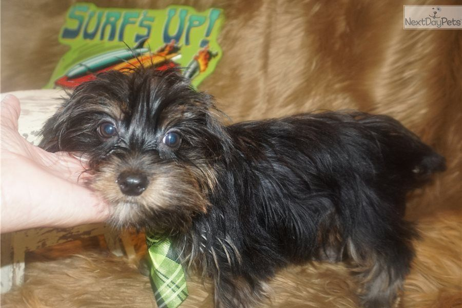 Akc Pete Is A Male Yorkshire Terrier Yorkie Puppy For Sale Near Dallas Fort Worth Texas Born On 3 9 2018 And Priced For 400 Listing Id 37 Yorkie Puppy