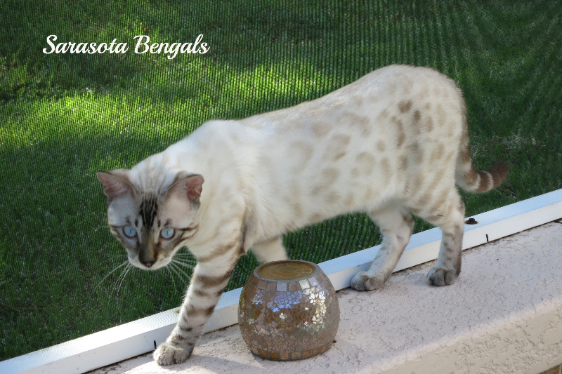 Seal Lynx Snow Bengal Cat Www Sarasotabengals Com Bengal Kitten Bengal Cat Bengal Cat Kitten