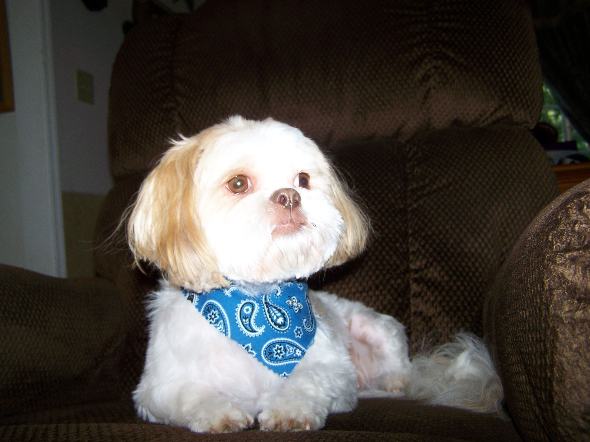 This is my 3-year-old Shih-Tzu. She is my baby!