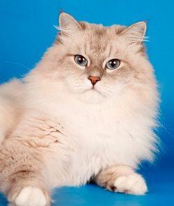 Выбор котенка невской маскарадной   Фото животных, Кошки и ...
