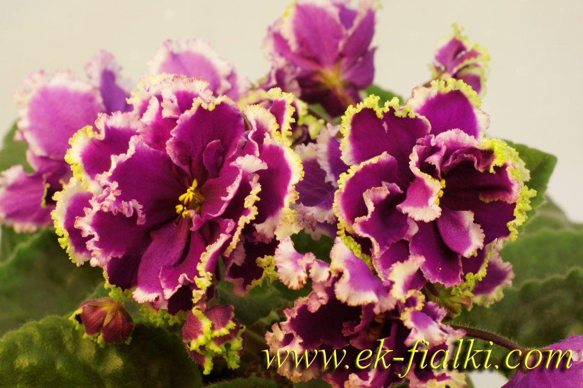 фиалка ек малахитовая орхидея фото купить аксессуар