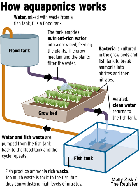 Aquaculture is the symbiotic cultivation of plants and for Fish and plants in aquaponics