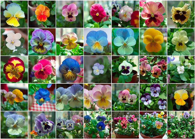 Pansy Fever Pansies Flower Pictures Daffodils
