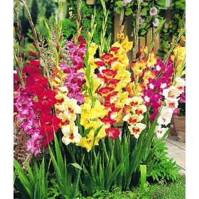 schmetterlings gladiolen mischung bloemen blumen flowers. Black Bedroom Furniture Sets. Home Design Ideas