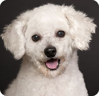 Chicago Il Bichon Frise Meet Sherman A Dog For Adoption Http Www Adoptapet Com Pet 13954685 Chicago Illinois Bichon Fr Bichon Frise Bichon Pet Adoption