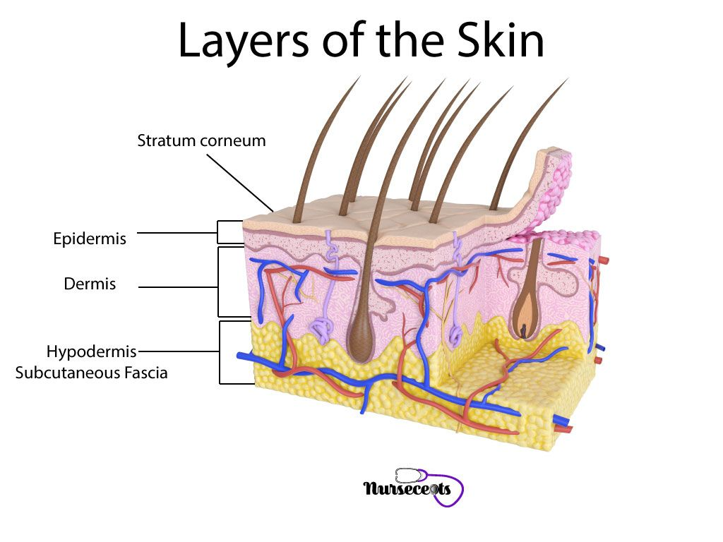 7 Facts About The Integumentary System Every Nursing Student Should Know Nursecepts Integumentary System Medical Terminology Nursing Students