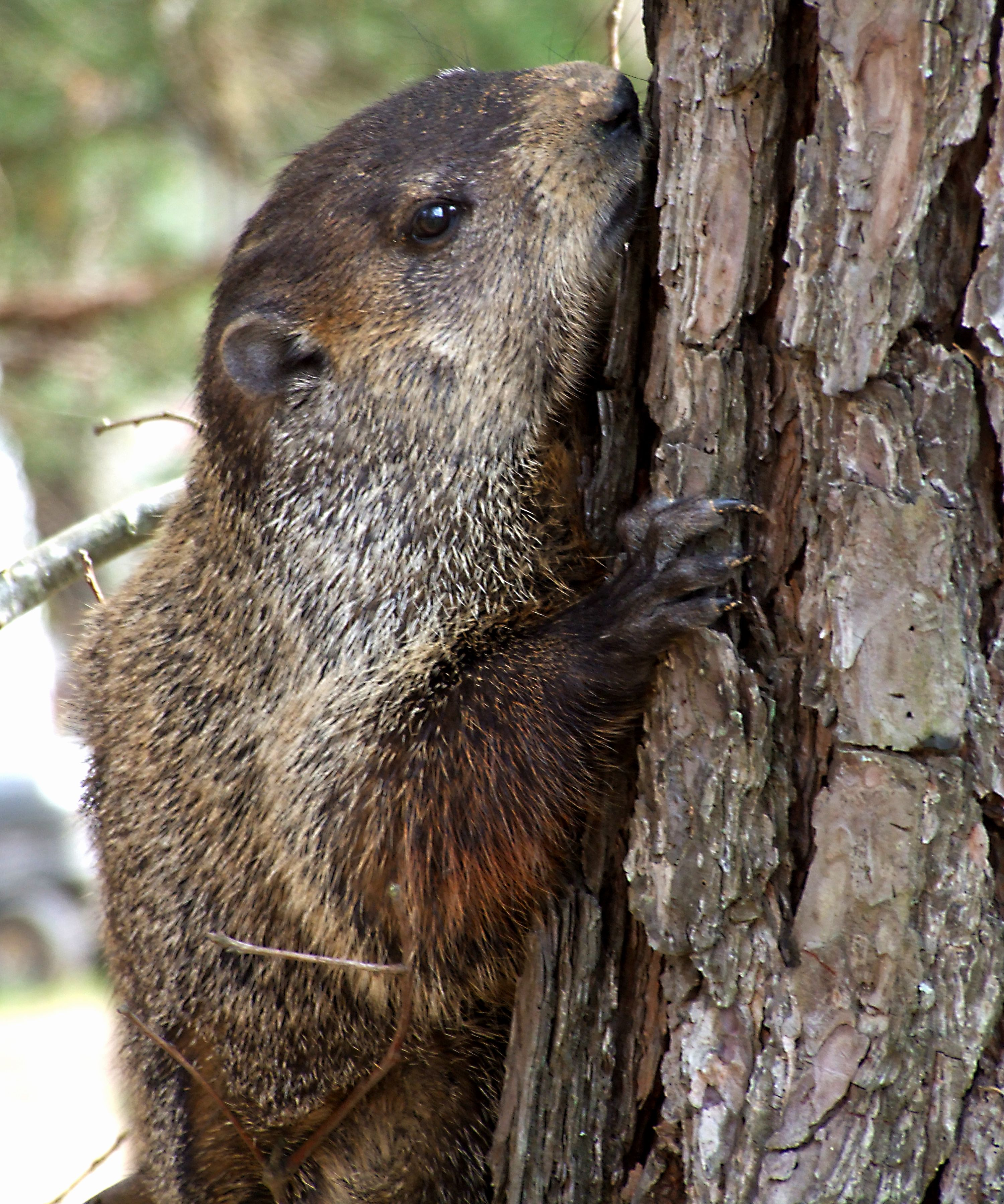 We had a ground hog in the yard recently. He stuck his