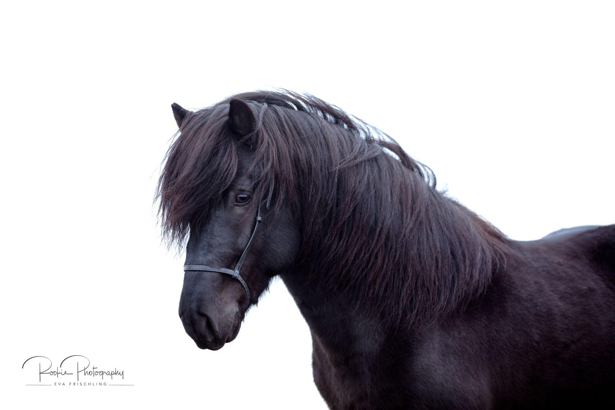 Islander Rapphengst Im Nebel In 2020 Pferde Fotografie Pferdefotografie Pferd