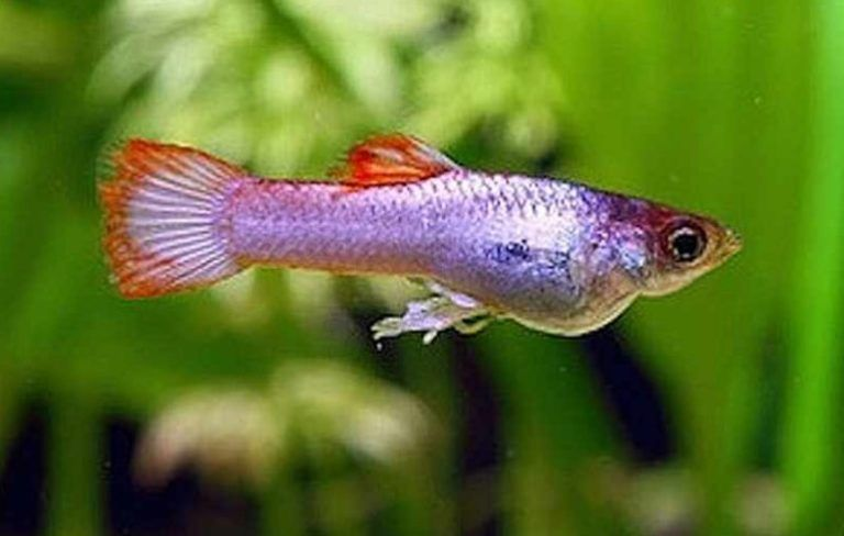 35 Different Types Of Guppies In The World With Beautiful Pictures Guppy Freshwater Aquarium Fish Guppy Fish