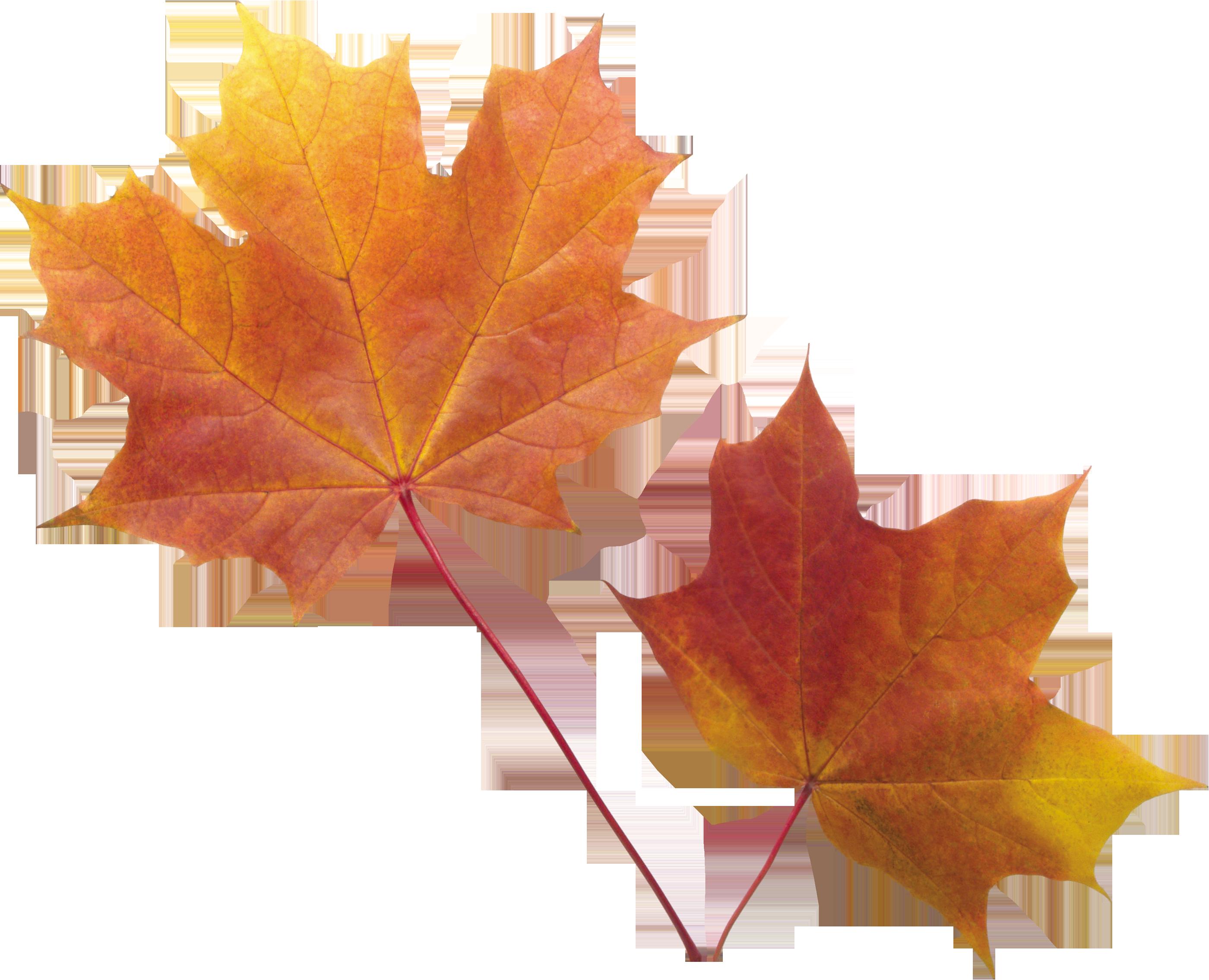Autumn Leaf Png Image Autumn Leaves Art Leaves Autumn Leaves