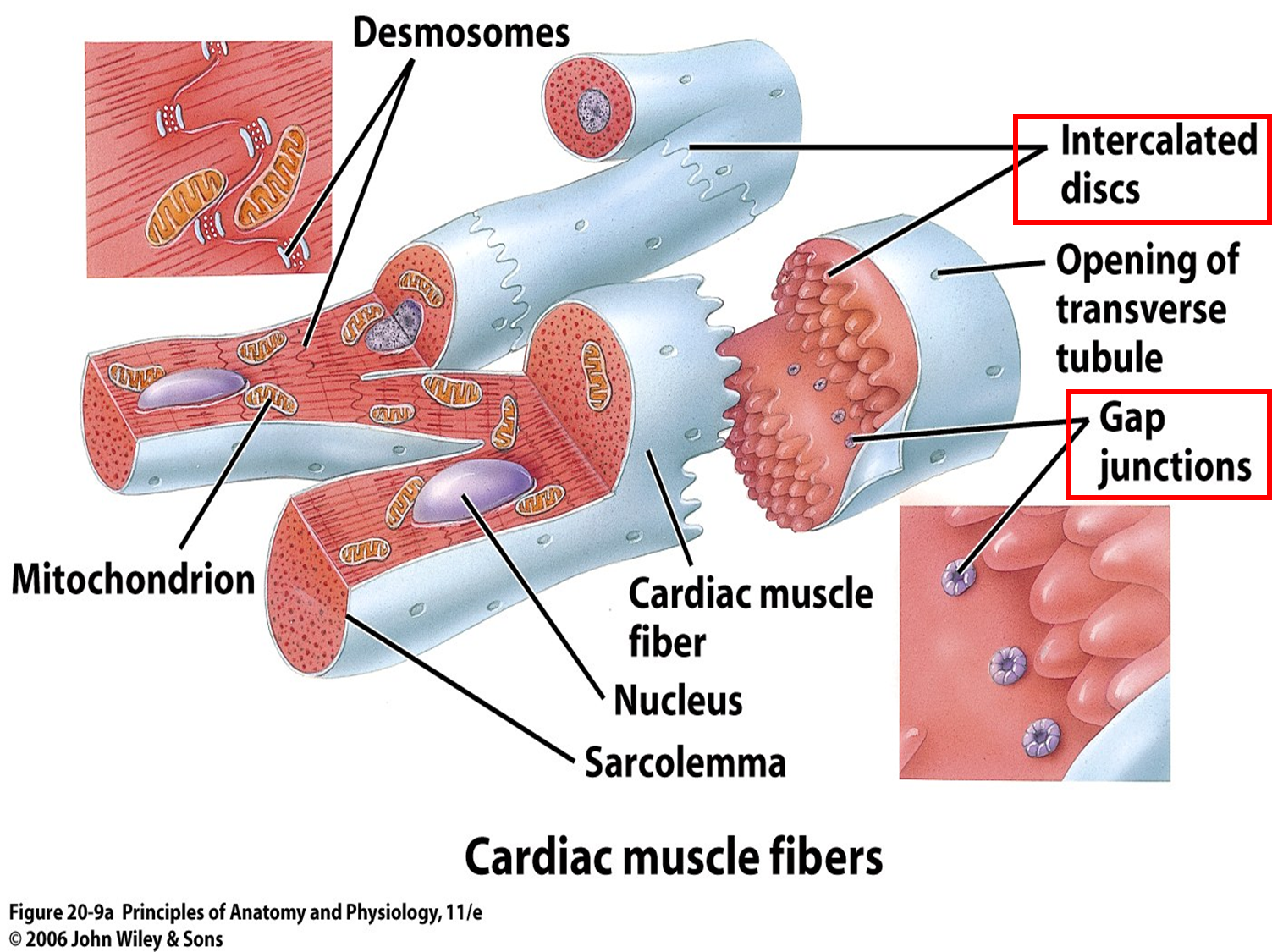 desmosomes cardiac muscle - google search | school board, Muscles
