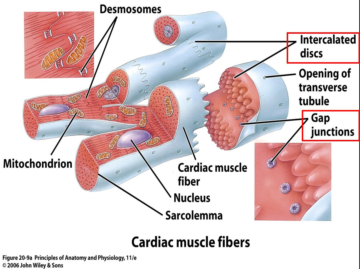 desmosomes cardiac muscle - Google Search | school board | Pinterest