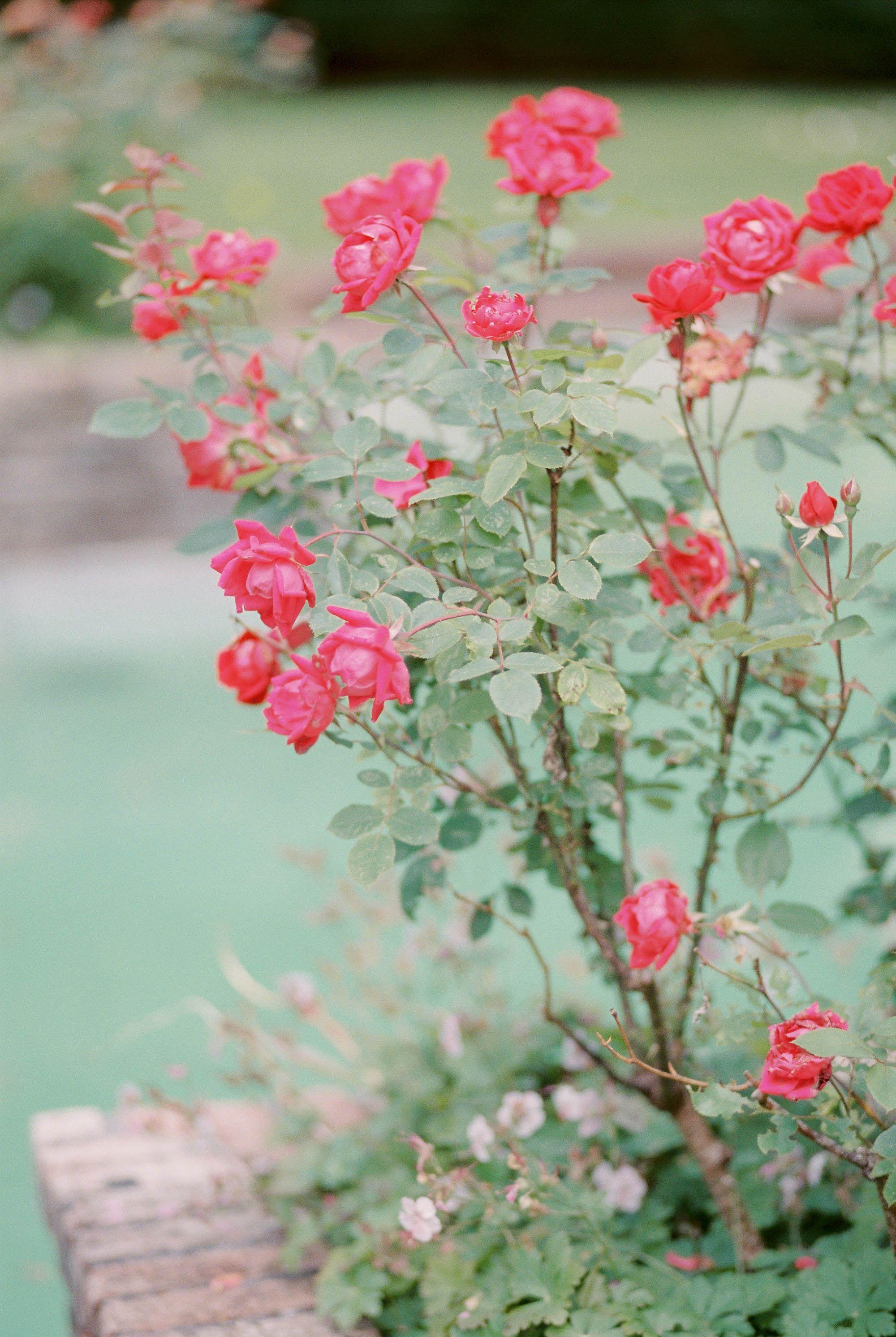 English Rose Garden Lakewold Gardens English Roses Rose Garden