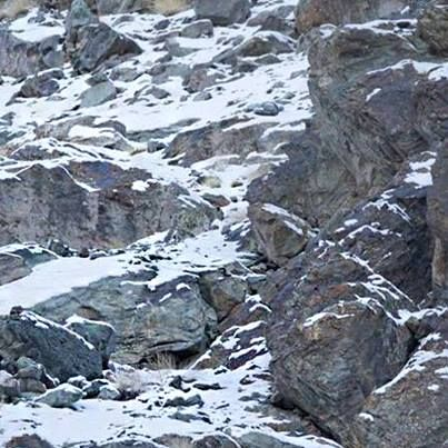 Hit Like If You Can Spot The Snow Leopard Hidden In This Picture