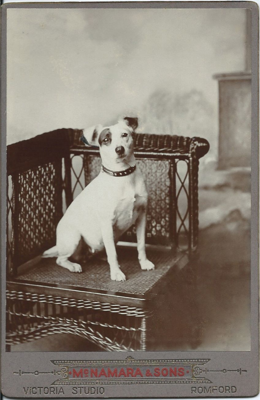 C 1900 Cabinet Card Of Jack Russell Terrier Sitting On Wicker Chair Photo By Mcnamara Sons Victoria Studio Romford Dog Photograph Vintage Dog Beloved Dog
