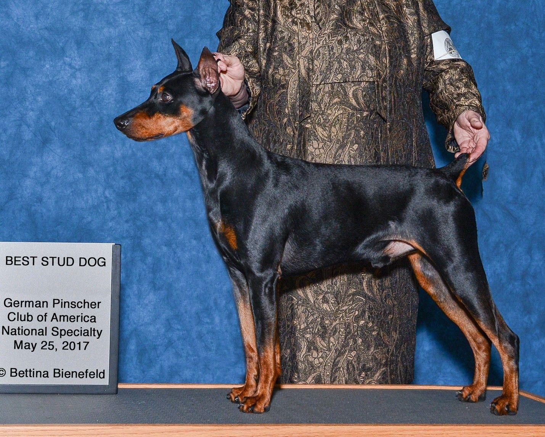 Gchb Ch Immer Treu V Oakwood Braveheart Rn Sen Sin Scn Tkn Fdc Also Ukc Ch And Iacba International Champion Top Germ Akc Dog Breeds German Pinscher Stud Dog