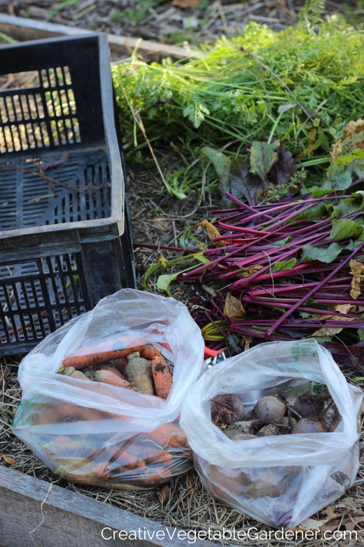 How To Store Beets From Your Garden When You Have A Bumper Harvest Creative Vegetable Gardener How To Store Beets How To Store Carrots Beets