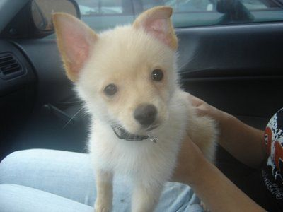 Mango The Jack A Ranian Jack Russell Terrier Pomeranian Hybrid